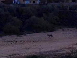 Coyote in the arroyo